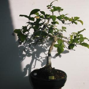 老爺柿 模様樹 高さ30センチ