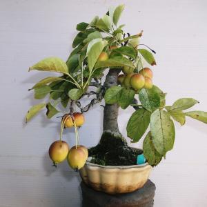 姫リンゴ 直幹 高さ23センチ