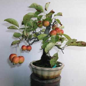 姫リンゴ 直幹 高さ22センチ