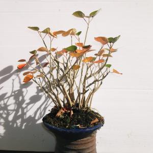 ほうぼう 寄せ植え 高さ30センチ