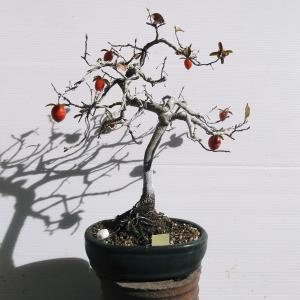 老爺柿 模様木 高さ27センチ