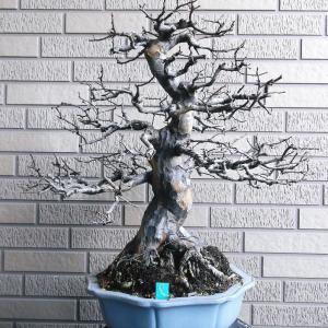 花梨 直幹 高さ47センチ