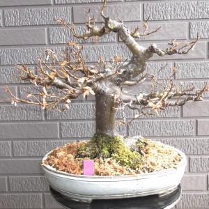 富士ブナ 模様木 高さ35センチ