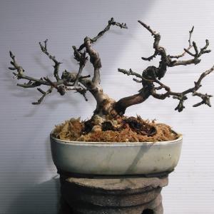山椒バラ 双幹 高さ15センチ