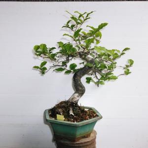 ローヤ柿 模様木 高さ28センチ