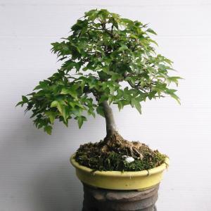 カエデ 模様木 高さ22センチ