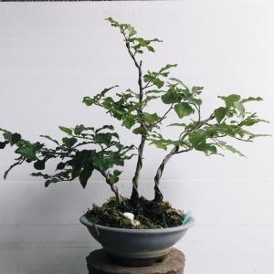 ローヤ柿 3幹 高さ25センチ