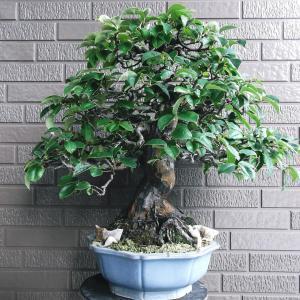 花梨 直幹 高さ50センチ