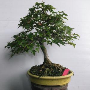 カエデ 模様木 高さ23センチ