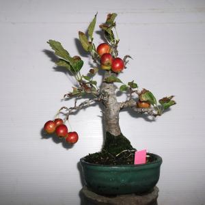 姫リンゴ 高さ20センチ