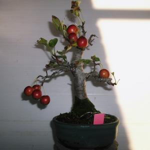 姫リンゴ 高さ23センチ