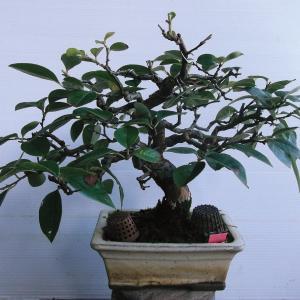 花梨 模様木 高さ22センチ
