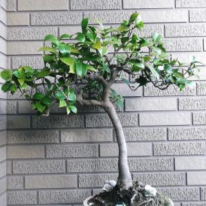 椿 直幹 高さ55センチ
