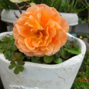養生させていたレディエマハミルトンに花が咲きました♪