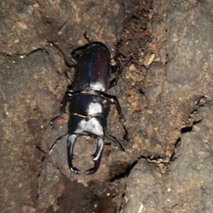 2019/09/08 さいたま市荒川沿い公園① クワガタ、カナヘビ、カマキリ採集