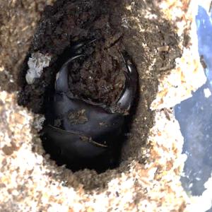 能勢産オオクワガタ オス羽化確認 & その母は今年も産卵、卵2つ目発見!