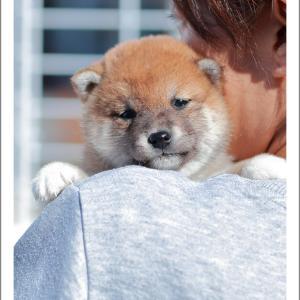 10月11日生まれ 赤柴女の子と黒柴女の子のご紹介です♪ 柴犬専門店 柴屋 山口