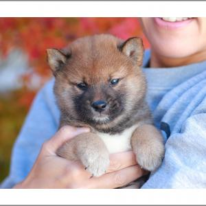10月14日生まれ 赤柴男の子1頭、赤柴女の子2頭のご紹介です♪ 柴犬専門店 柴屋 山口