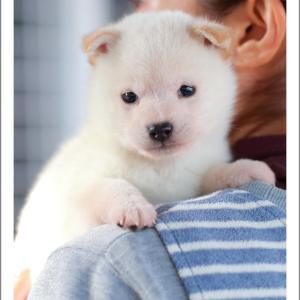 10月28日生まれ 白柴男の子、赤柴女の子2頭のご紹介です♪ 柴犬専門店 柴屋 山口