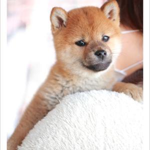 子犬のご紹介です♪ 柴犬専門店 柴屋 山口