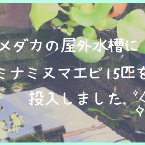 【初心者でもできた】メダカの水槽にミナミヌマエビ15匹投入!