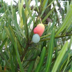 変な木の実