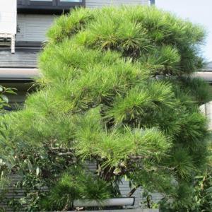 松の木の剪定をしつつ考えた
