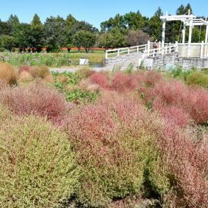 大宮花の丘 色づくコキア