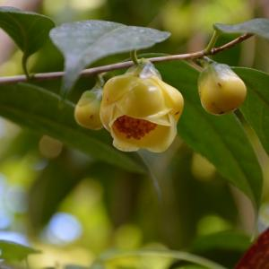 福をよぶ黄色い椿「金花茶」