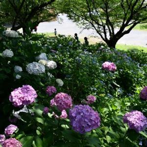 美しい 権現堂の紫陽花