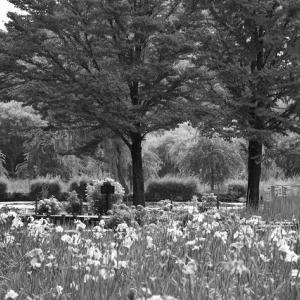 初夏の花菖蒲