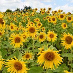 小さなひまわり畑の小さなひまわりの花