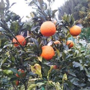 橙酢作り&ニトリ