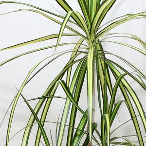 ドラセナ・コンシンネ・バイカラー(Dracaena marginata cv. Bicolor )
