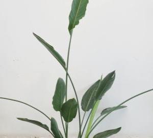 ストレリチア・レギネ(Strelitzia・reginae)
