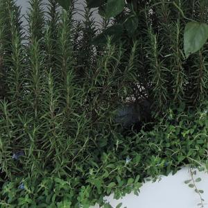 オリーブやローズマリーの植栽