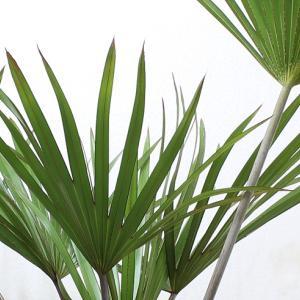 ビスマルキア・ノビリス(Bismarckia nobilis)