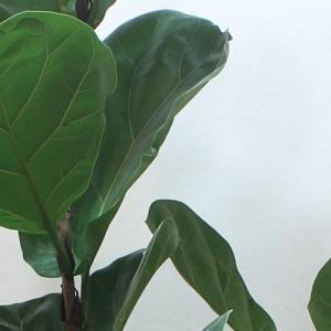 カシワバゴムノキ(Ficus lyrata)