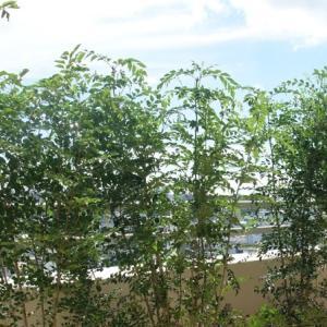 シマトネリコ(Fraxinus griffithii)
