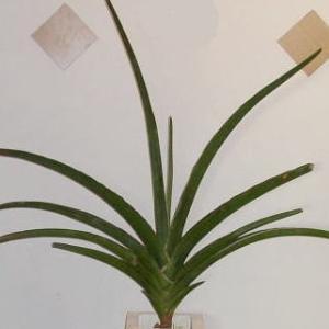 サンセベリア・エレンベルギー(Sansevieria ehrenbergii)
