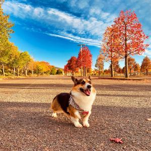 <写真>ベガ君のお散歩 ~紅葉と秋空の「グランディ21」公園~