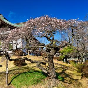 <写真>冬の桜、塩釜神社の『四季桜』が満開でした