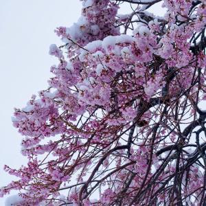 『桜隠し』も新型コロナで・・・仙台は「閏年」で史上最速「開花宣言」
