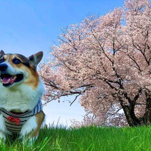 多賀城跡の桜が満開になってました・・・ベガ君のお散歩