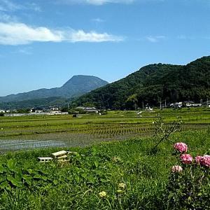 水田とアジサイとザクロの花と