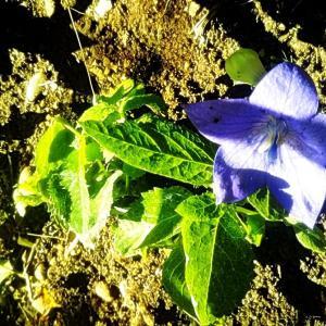桔梗を植える