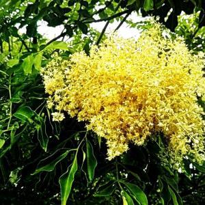 シマトネリコの白い花