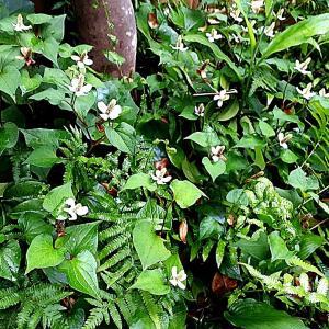 ドクダミ茶とドクダミの花