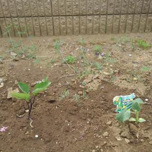 野菜を植える。