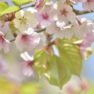 6月、桜もそろそろ・・・